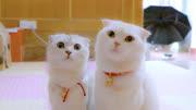 會說話的折耳喵:長得這麼可愛的小貓貓,犯啥錯都會被原諒啦!