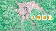 梅花鹿幼崽太可愛了,小鹿和狗狗一樣聽話,看了真想養一隻