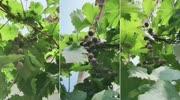 去年结婚后发现他家的一个葡萄树苗,不顾老公反对帮它牵引拉线,今年是这样回报我的!